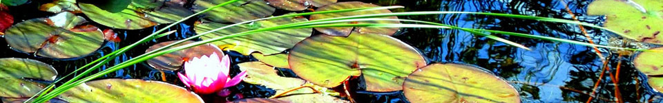 Lily pads and flower in water